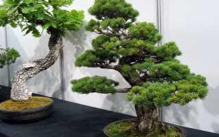 Дерево бонсай — мы рекомендуем растения, за которыми легко ухаживать