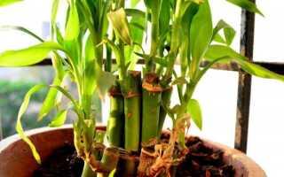 Бамбук в горшочке. Как вырастить это. руководство