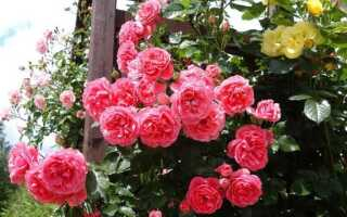Посадка роз: когда лучше весной или осенью
