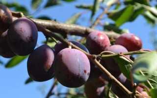 Плоды сливы сливы нападают на сливы — как от нее избавиться
