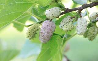 Белая шелковица — узнайте о ее великолепных свойствах и применении