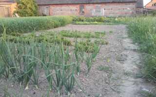 Выращивание лука, паслена и тыкв