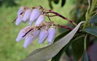 Pieris в саду — декоративный цветущий кустарник