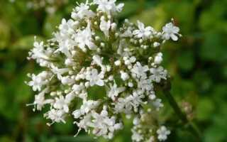 Корень валерианы называется валериана — лечебные свойства и использование