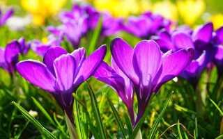 Крокусы — предвестники весны. Что стоит знать о них?