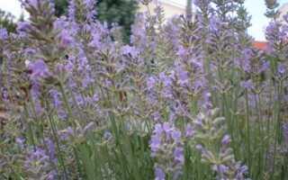 Лаванда: растение из Прованса для польских скидок