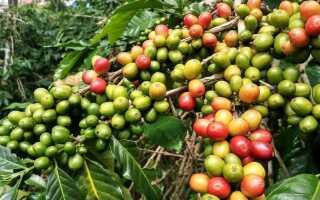 Кофе в горшочке. Как выращивать и выращивать кофе