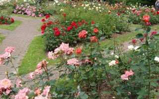 Обрезка роз —