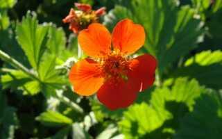 Как вырастить авены — многолетние и цветущие растения для скидок и рокариев
