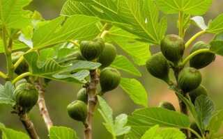 Инжир в горшочке. Как вырастить смоковницу и ждать фруктов