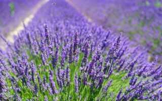 Лаванда в саду и горшке — выращивание и применение