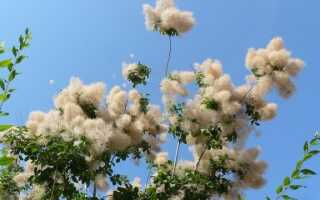 Перуанский подольский — дерево с париком