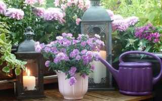 Осенние цветы на балконе: вереск, астра, хризантема. Как их выращивать — руководство для начинающих
