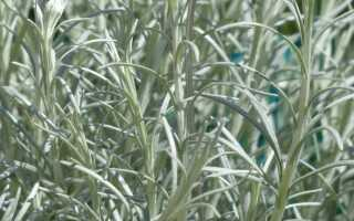 Итальянский кайт — выращивание и применение