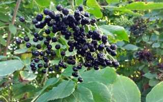 Черный без. Применение и свойства этого растения