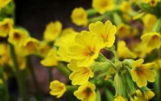 Первоцвет — целебные свойства этого растения