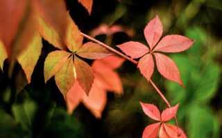 Винилы — лианы без требований, которые оживят осень