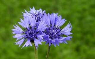 Василек — в чем польза этой травы и как выращивать васильки в саду