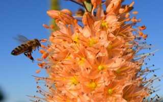 Пустынники — растения с великолепными соцветиями и странными требованиями