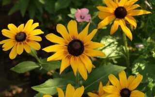 Rudbecke — летние цветы легко выращивать