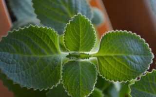 Мексиканская мята, кубинский орегано. Что это за растение и как его выращивать