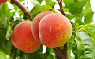Персики — какие сорта выращивать в Польше. Болезни нападения на персики и борьба с ними