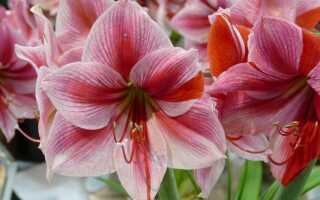 Амариллис или Звартница (гиппеаструм)? Чем отличается и что процветает зимой в домах