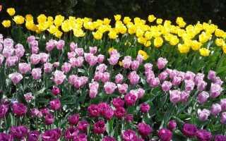 Как посадить и выбрать цветы зеленого лука