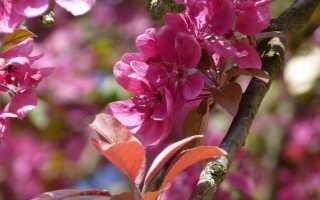 Богато украшенная или небесная яблоня. Как вырастить это