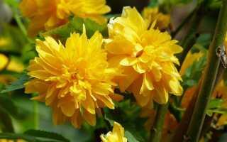 Керрия или Голдлин. Как вырастить этот красиво цветущий куст