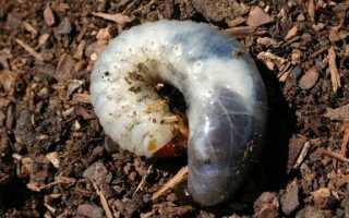 Почвенные вредители — как они могут угрожать нашим растениям
