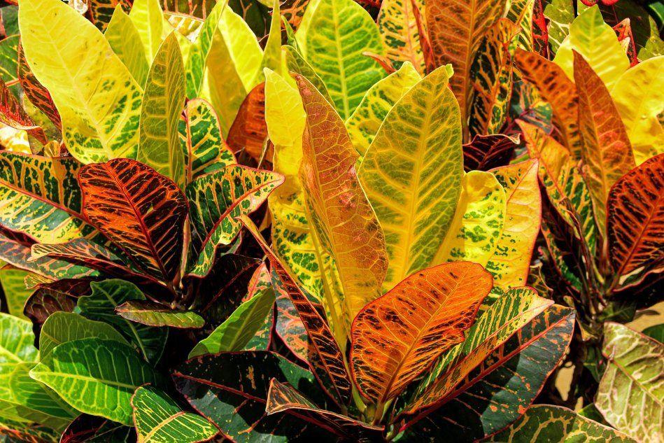 Листья кротонов