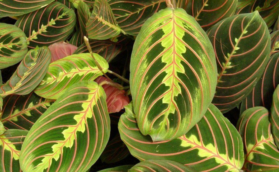 Листья маранта